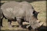 Handsome Rhino